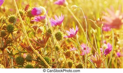 Small steppe flowers of violet color tossing in the wind. -...