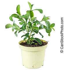 Stevia Plant isolated on white - Small Stevia Plant isolated...