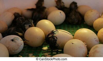 Small still wet newborns white and black chickens break egg...