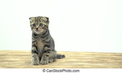 Small striped kitten sits on a wooden floor and lick. White...