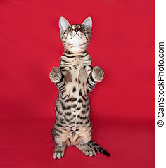 Small striped kitten standing on red