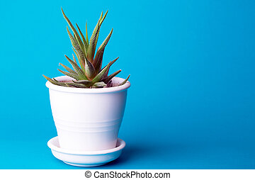 succulent on a blue background