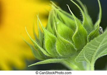 Small sunflower bud.