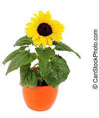 small sunflower in a pot, Isolated on white background