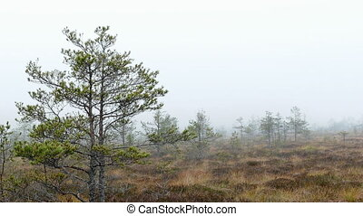 Small swamp pine trees. Foggy day in bog marsh land