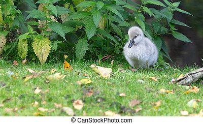 Small swan walking in the green grass
