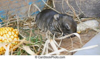 Small three day newborn blind rabbit walks in the sun in a...