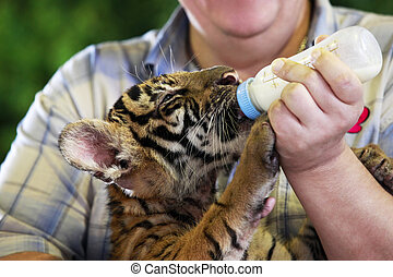 Small tiger - Feeding a tiger out of the bottle
