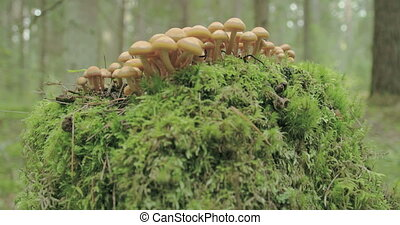 Small tiny honey fungus growing on the trunk