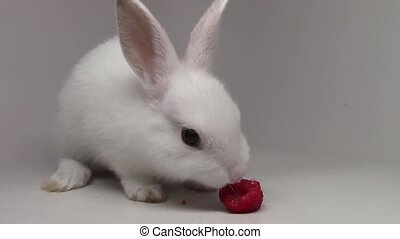 Small tiny little bunny amazing fluffy white cute rabbit munching eating strawberry on white background in close up view
