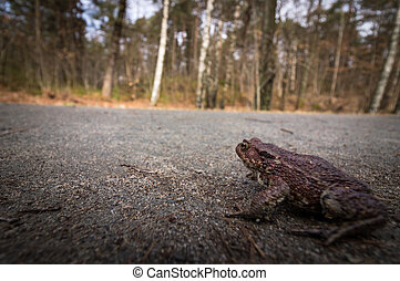 Small toad in danger on a road. Common toad, Bufo bufo, on its way to the breeding pond in april. Norway.