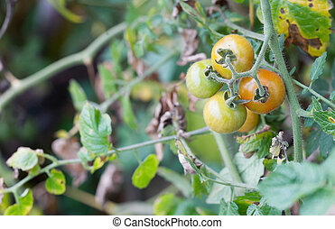 Small tomato growing