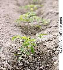 Small tomato plant in the garden