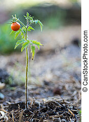 Small tomato plant with single red fruit