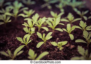 small tomatoes seedlings