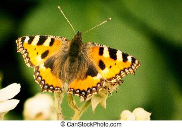 Small Tortoiseshell, Aglais urticae, butterfly on blackberry...