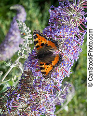 Small Tortoiseshell (Aglais urticae) feeding on a Buddleia