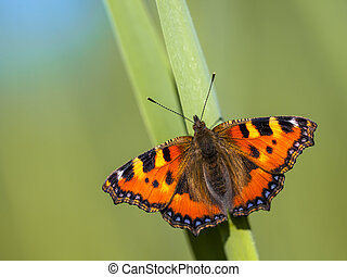 Small tortoiseshell (Aglais urticae) perched on a leaf with...