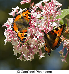Small tortoiseshell butterflies on Syringa flowers - Small...