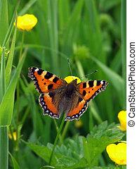 Small Tortoiseshell butterfly (Aglias urticae)