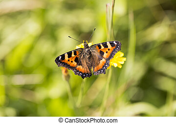 Small Tortoiseshell Butterfly close up with a green...