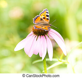 Small tortoiseshell butterfly on Echinacea blossom