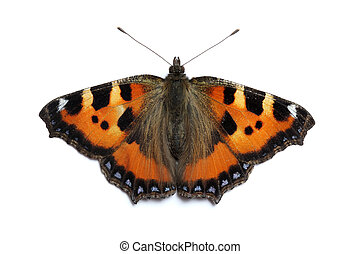 Small Tortoiseshell butterfly on white surface (Aglais...