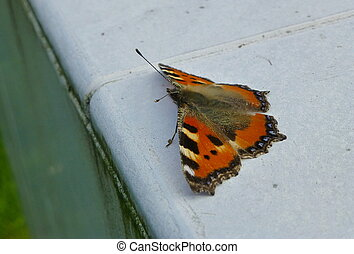 Small tortoiseshell butterfly sitting on the white surface