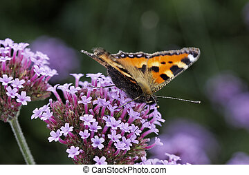 Small Tortoiseshell butterfly - Small Tortoiseshell on...