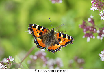 Small Tortoiseshell Butterfly - The Small Tortoiseshell...