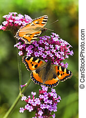 Small tortoiseshell or Aglais urticae on Verbena flowers -...