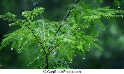Small Tree Drips After Rainfall In Forest - Closeup of small...