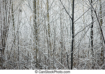 Small trees in winter