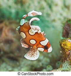 Small tropical fish Juvenile harlequin sweetlips