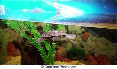 Small turtle phrynops geoffroanus swims in aquarium. 4k.