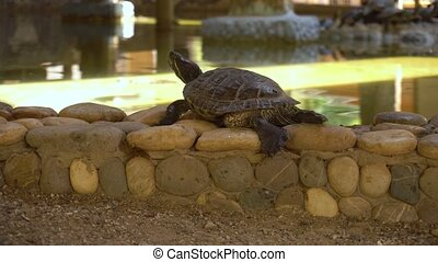 Small turtle sitting on stones - Turtle sitting on rocks in...