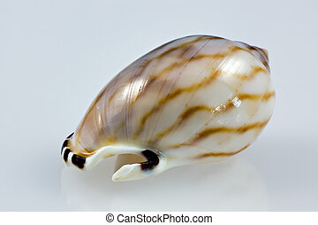 Small Vibex seashell