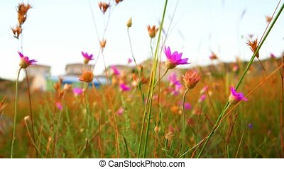 Small violet wild flowers wobble in wind closeup. - Small...