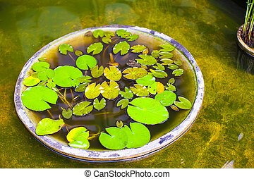 Small water lilies in a pond