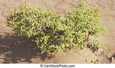 Small watery grassy bush in Rub al Khali desert stock...
