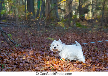 Small West Highland White Terrier walking in autumn forest