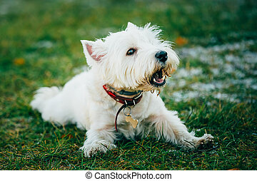 Small West Highland White Terrier - Westie, Westy Dog - West...