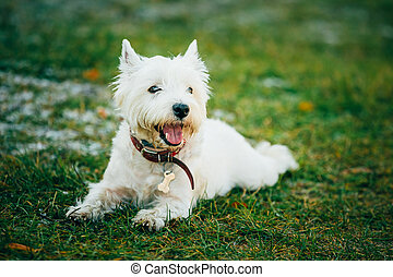 Small West Highland White Terrier - Westie, Westy Dog - West...