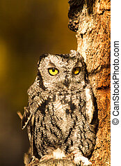 Western Screech Owl - Small Western Screech Owl perched in...