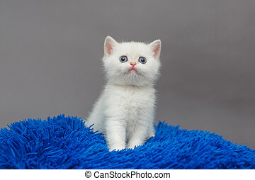 Small white British kitten sits on a blue blanket, on a grey...