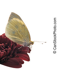 Small White butterfly studio close-up - Small White...