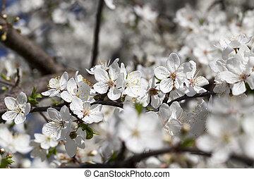 small white cherry flowers