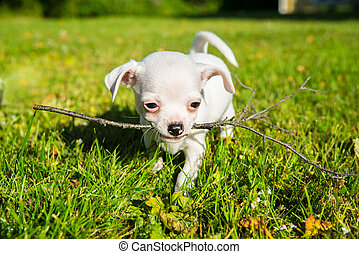 small white chihuahua puppy on a lawn