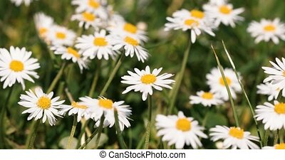 Small white daisy flowers in green grass with spring breeze