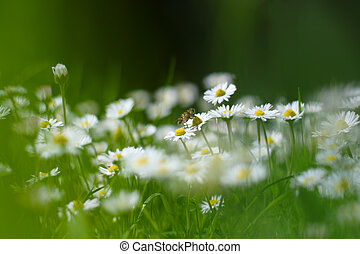 Small white daisy flowers with a bee